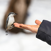 This is a Eurasian nuthatch (Sitta europaea amurensis) that is acclimated to people. There were bird feeders in the vicinity. It is likely that the bird associated people with food. The bird flew to this outstretched hand on several occasions.