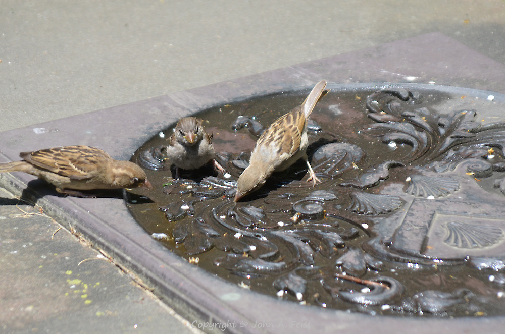 Three sparrows having a drink from a manhole cover in Boston, MA
