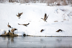 River otters chasing Canada Geese along the bank of the Snake River at Oxbow Bend in Grand Teton National Park. Do you suppose they were angry they were pooping up the riverbank?