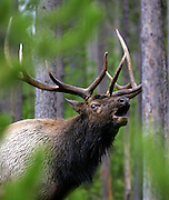 A bull elk bugles for potential mates during rutting season in Yellowstone National park in Wyoming. Colin Braley