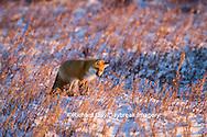 01871-02816 Red Fox (Vulpes vulpes) in winter Churchill Wildlife Management Area Churchill, MB