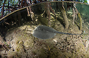 Caribbean Whiptail Ray (Himantura schmardae) in Red Mangroves (Rhizophora mangle)<br /> Lighthouse Reef Atoll<br /> BELIZE, Central America