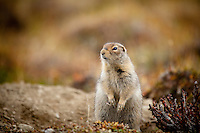 """Arctic Ground Squirrel near the Tashenshini River. The """"Tat"""" flows out of Yukon, CA, through British Columbia and empties into Glacier Bay National Park in Alaska, US."""