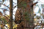 Barred owl (Strix varia) perched
