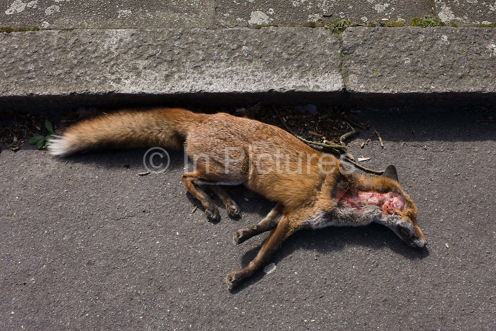 An urban north European fox lies dead in a south London road after being killed by a local vehicle. With a fatal injury to its head, the animal has died the previous night in the gutter of a quiet road in the London borough of Lambeth. Its reddish fur and especially its tail - known as the brush - are otherwise unaffected and so may have succumbed to shock rather than major trauma. It is an adult, rather than a cub and will have been missed by its local den. 'Vulpes vulpes' has a long history of association with humans, having been extensively hunted as a pest and furbearer for many centuries, as well as being represented in human folklore and mythology. Because of its widespread distribution and large population, the red fox is one of the most important furbearing animals harvested for the fur trade.