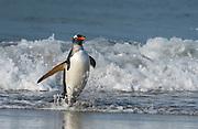 Gentoo penguin (Pygoscelis papua) from Sea Lion Island, the Falklands.