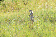 A black tailed Prairie Dog look out from a burrow in a colony occupying a suburban field in Cheyenne, Wyoming.