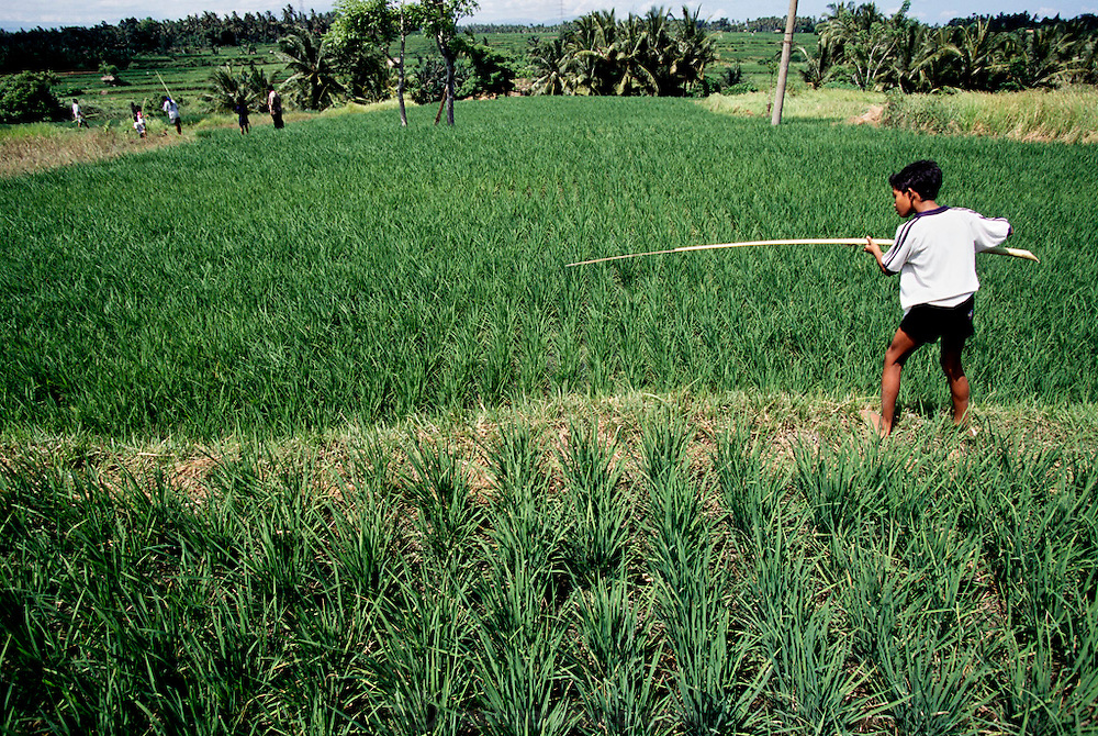 In a rice paddy near Ubud, Bali (Indonesia), a young boy catches dragonflies with a wand made from jackfruit palm frond stem tipped with sticky jackfruit sap. Past generation of Balinese kids routinely caught dragonflies this way, then dewinged, and stir-fried them: a crispy protein snack. This practice has mostly disappeared due to a more prosperous population that has ready access to chicken. Image from the book project Man Eating Bugs: The Art and Science of Eating Insects.