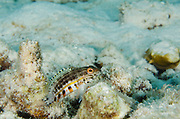 Lantern Bass (Serranus baldwini)<br /> BONAIRE, Netherlands Antilles, Caribbean<br /> HABITAT & DISTRIBUTION: Coral rubble and sea grass beds.<br /> South Florida, Bahamas, Caribbean, & Brazil.