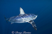 shortfin mako shark, Isurus oxyrhinchus, female with mating scars and small patch of copepod parasites on flank, King Bank, North Island, New Zealand ( South Pacific Ocean )