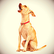 A tan, toy chihuahua shows off her personality during dog photo shoot.