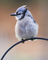 Blue Jay. Image taken with a Leica SL2 camera and Sigma 150-600 mm sport lens.