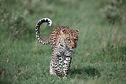 Leopard, Panthera pardus stalking near Lebala Camp, Okavango