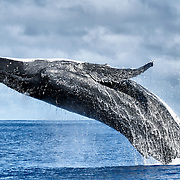 Breaching humpback whale (Megaptera novaeangliae), one of six whales involved in a competitive group heat run