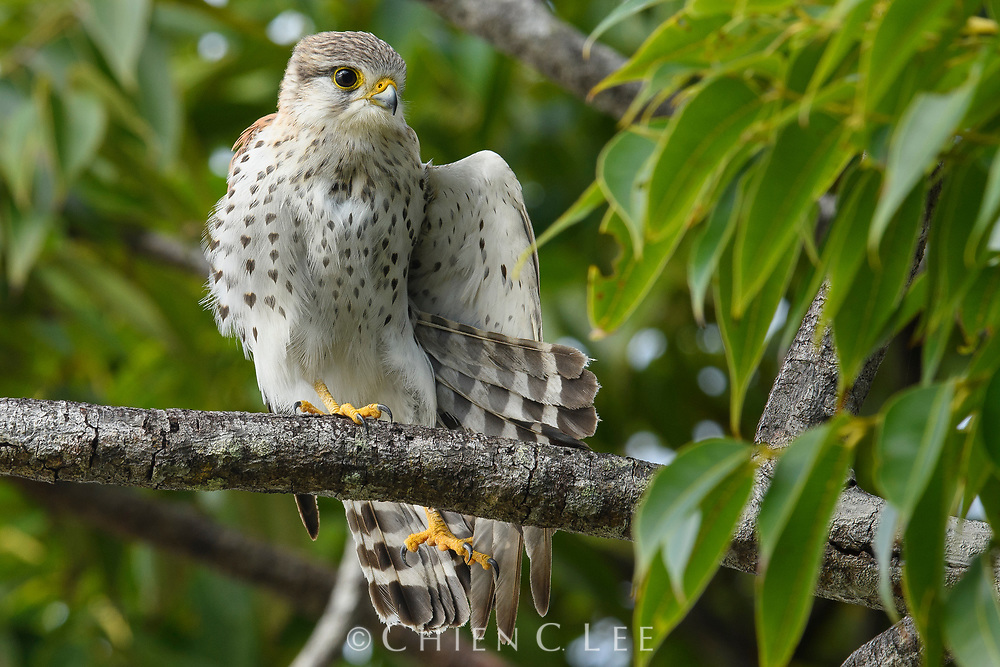 Malagasy Kestrel (Falco newtoni). Akanin'ny Nofy, Madagascar.