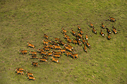 Sable antelope (Hippotragus niger)<br /> Marromeu<br /> Eastern Mozambique, Africa