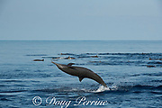 eastern spinner dolphin, Stenella longirostris orientalis, jumping upside down, offshore from southern Costa Rica, Central America ( Eastern Pacific Ocean )