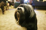 Sydney the Tibetan Terrier at The133rd Westminister Kennel Club Dog Show Press Conference announcing The Dogue De Bordeaux debut at the Westminister Kennel Club Dog Show held at the Pennsylvania Hotel Sky Top Ball Room on February 5, 2009 in New York City