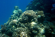 Soft coral, hard coral full of Fish, underwater scenery at a Coral reef in the Red Sea Eilat, Israel