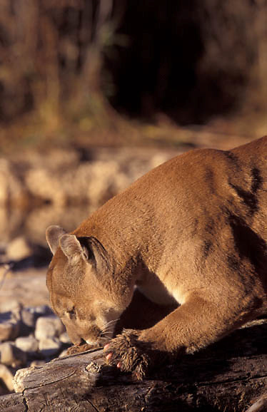 Mountain Lion or Cougar, (Felis concolor) Adult male marking territory and sharpening with claws. Southwest Utah.  Captive Animal.