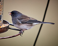 Dark-eyed Junco at a bird feeder. Image taken with a Nikon D5 camera and 600 mm f/4 VR lens (ISO 1100, 600 mm, f/4, 1/640 sec).