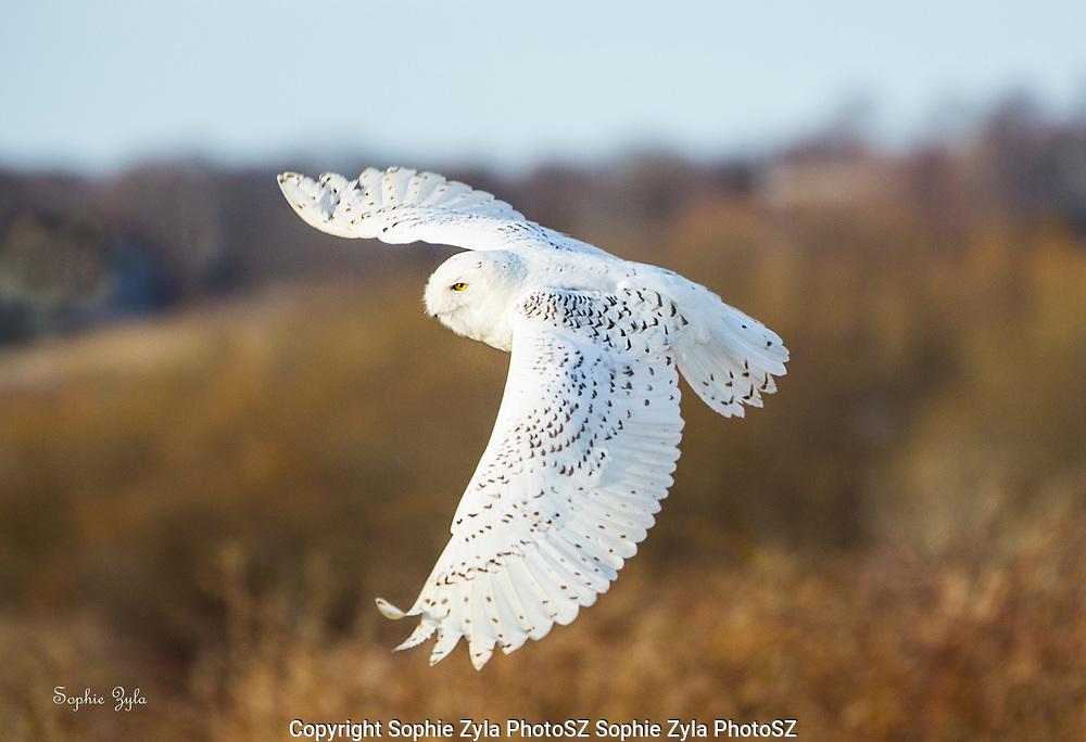 Snowy Owl Flight over Sachuest