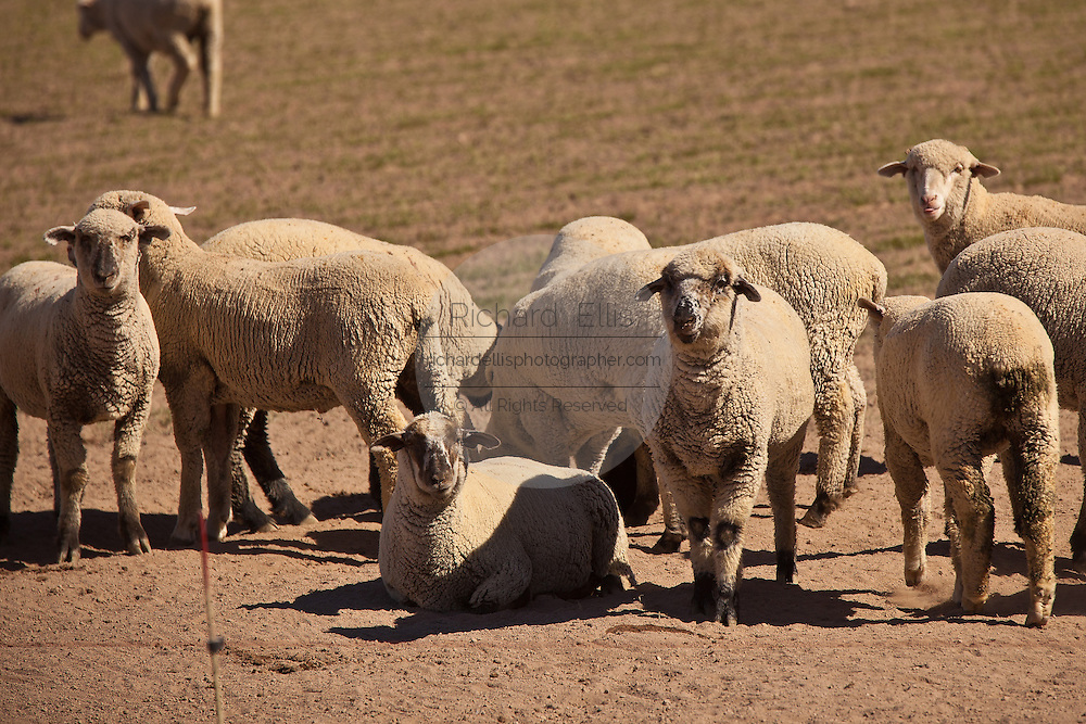 Sheep graze in the Imperial Valley Niland, CA.