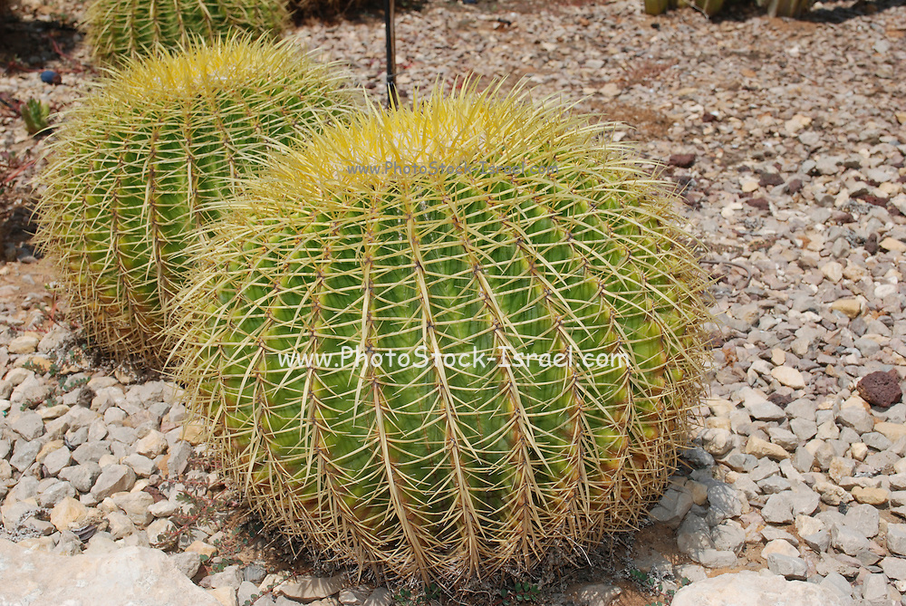 Echinocactus grusonii native to central Mexico from San Luis Potosi to Hidalgo. Described by Heinrich Hildmann in 1891, it is popularly known as the Golden Barrel Cactus, Golden Ball or, amusingly, Mother-in-Law's Cushion.
