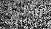 SHOT 3/30/21 4:49:55 PM - Aerial photo of snow covered evergreens in Mayflower Gulch near Climax, Co. after a winter storm. Mayflower Gulch Grand Traverse is an approximately 6 mile heavily trafficked out and back trail located near Climax, Colorado that features beautiful wild flowers in the summer and is rated as moderate. It is a popular spot to winter hike and cross country ski as well in the winter. (Photo by Marc Piscotty / © 2021)