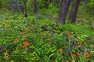 Indian Paintbrush wildflowers carpet the forest floor in the Stillwater State Forest near Whitefish, Montana, USA