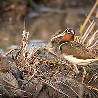The greater painted-snipe (Rostratula benghalensis) is a species of wader in the family Rostratulidae. Medium-sized, plump wading bird. Long reddish-brown bill, slightly decurved at tip, and distinct white or pinkish eye patch. Rounded, buff-spotted wings and short tail. White of breast extends up around top of folded wing. The painted-snipe is not related to the true snipes and differs from them in habits, flight and appearance, being far more colorful and having longer legs than the snipes. It is unusual in that the female is larger and more brightly colored than the male, with the sides of the head, neck and throat a rich chestnut brown, and a distinct black band across the breast; the male is paler and greyer.