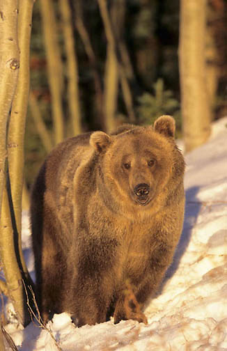 Grizzly Bear, (Ursus horriblis) In aspen forest in western Rockies. Montana.Winter. Captive Animal.