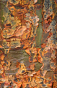 Close-up abstract of the bark of a paper-bark maple tree (Acer griseum) showing the papery-scrolled texture of the bark. Kew Gardens, Surrey