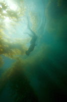 Russell Laman (age 13) snorkeling in the Giant Kelp (Macrocsytis pyrifera) forest off La Jolla, CA.