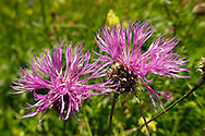 Alpine Knapweed ( Centaurea alpestris ). Bernese Alps, Switzerland .<br /> <br /> Visit our SWITZERLAND  & ALPS PHOTO COLLECTIONS for more  photos  to browse of  download or buy as prints https://funkystock.photoshelter.com/gallery-collection/Pictures-Images-of-Switzerland-Photos-of-Swiss-Alps-Landmark-Sites/C0000DPgRJMSrQ3U