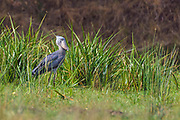 Shoebill (Balaeniceps rex) from Murchison Falls, Uganda.