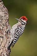 Male ladder backed woodpecker