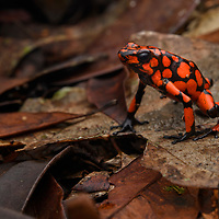 In the dim understory of the forest floor the color of the Harlequin Poison Frog (Oophaga histrionica) seem almost too fantastic to be real. Like other dendrobatid frogs, these colors serve as a warning signal of their toxicity. This species is endemic to the coastal rainforests of Colombia. Choco, Colombia.