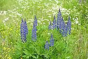 Lupin Flowers, Lupinus polyphyllus, Kangasala, Finland, lupines, purple and pink colours,