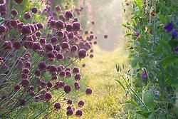 Allium sphaerocephalon lining a path on the vegetable bank