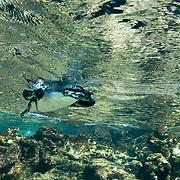 Galapagos Penguin (Sphenisucs mendiculus) swimming in the ocean.  Galapagos, Ecuador.