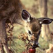 Whitetail Deer, (Odocoileus virginianus) Portrait fawn eating apple. Wisconsin.