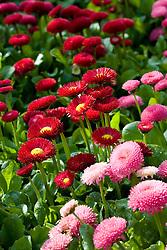 Mixed Bellis perennis - daisy