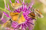 Lulworth skippers (Thymelicus acteon) on knapweed. Dorset, UK.