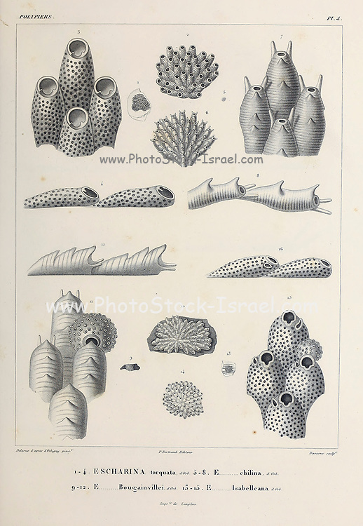 """Bryozoa (also known as the Polyzoa, Ectoprocta or commonly as moss animals)are a phylum of aquatic invertebrate animals. Typically about 0.5 millimetres long, they are filter feeders that sieve food particles out of the water using a retractable lophophore, a """"crown"""" of tentacles lined with cilia. Most marine species live in tropical waters, sketch From the book 'Voyage dans l'Amérique Méridionale' [Journey to South America: (Brazil, the eastern republic of Uruguay, the Argentine Republic, Patagonia, the republic of Chile, the republic of Bolivia, the republic of Peru), executed during the years 1826 - 1833] Volume 5 Part 1 By: Orbigny, Alcide Dessalines d', d'Orbigny, 1802-1857; Montagne, Jean François Camille, 1784-1866; Martius, Karl Friedrich Philipp von, 1794-1868 Published Paris :Chez Pitois-Levrault. Publishes in Paris in 1847"""