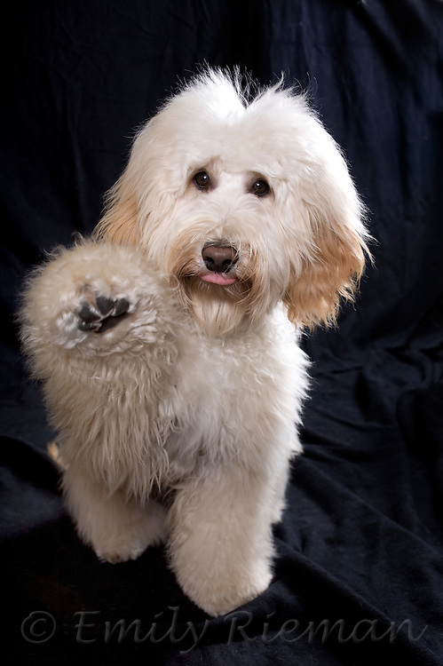 Goldendoodle reaching out