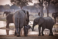 Elephant herd with baby at a watering hole in Zimbabwe, Africa. Wildlife and Nature photography. Wall art, fine art photography prints, and stock images.