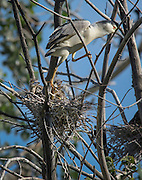 A black crowned night heron (Nycticorax nycticorax) parent watches over three young chicks in a nest in the trees in Denver City Park, Colorado