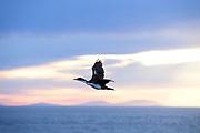 Sea birds following the m/v Ortelius in the Atlantic Ocean near the Falkland Islands (Las Malvinas) on Sunday 4th February 2018.
