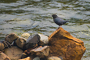 Dippers and Wrentits